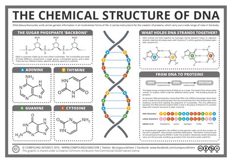dna molecule diagram compound interest the chemical structure of dna
