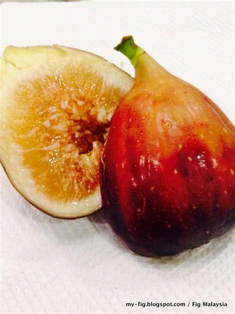 Pohon Tin Fres Cangkok Jual Bibit Cangkok Pohon Buah Fig Tin Ara Jenis Taiwan