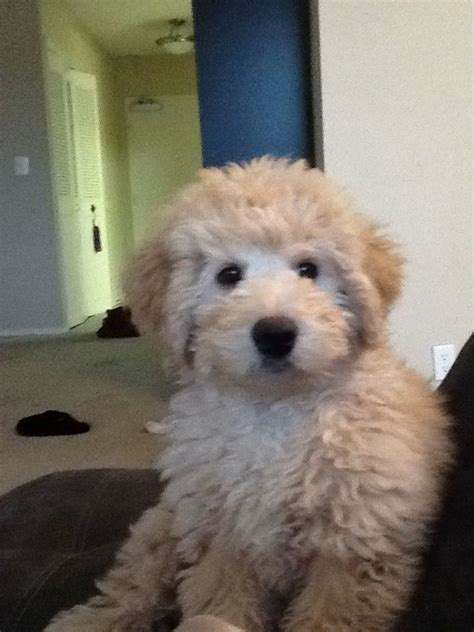 goldendoodle names haired labradoodle f1b newhairstylesformen2014