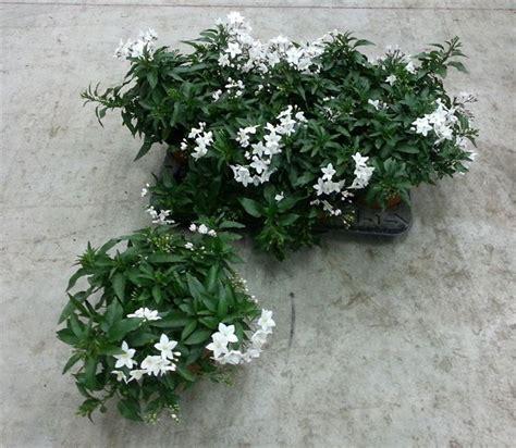 pianta di gelsomino in vaso pianta gelsomino piante da giardino pianta di gelsomino