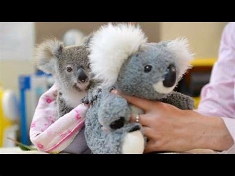 why are stuffed animals comforting this cute koala hugs a stuffed animal for comfort after