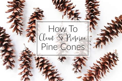 how to clean and preserve pine cones the kolb corner