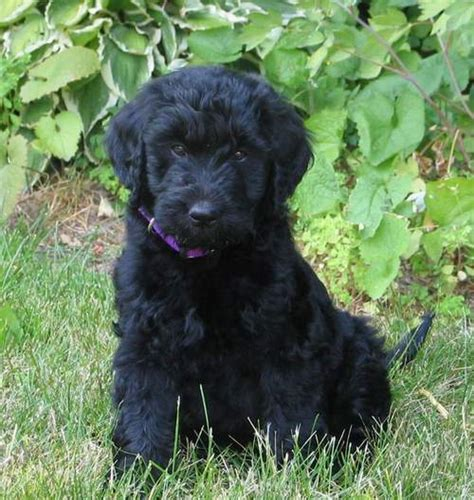 goldendoodle puppy black black goldendoodle dogs katy perry buzz