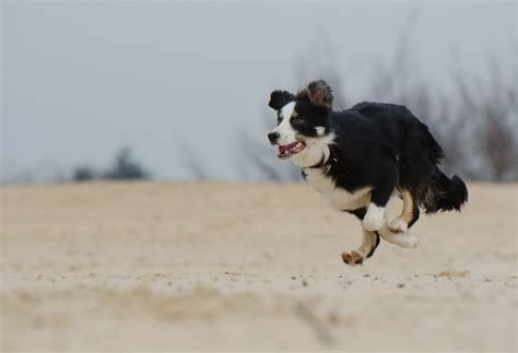 running dogs free photo running border collie free image on pixabay 747751