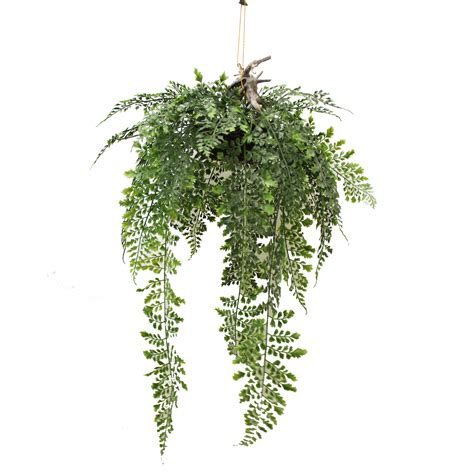 hanging plants hanging fern 70cm complete with small basket gt greenery