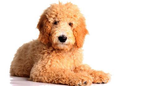 average lifespan of a goldendoodle goldendoodle breed information