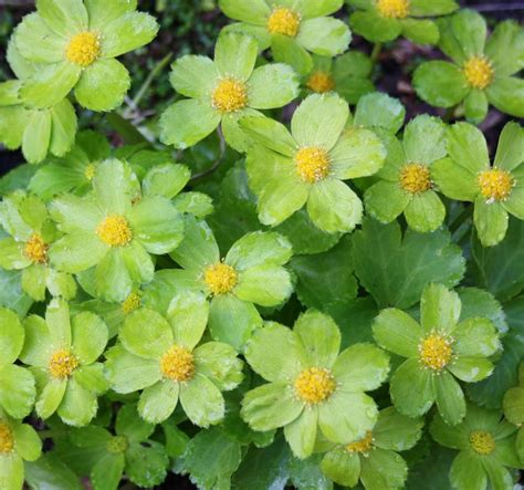 Green Garden Flowers Green Plant Corsage Woodland Plant Hacquetia Epipactis Beautiful