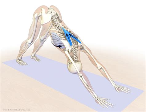 can you use and shoulders on dogs the daily bandha shoulder kinematics in part ii the lower trapezius and