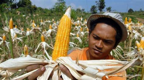 Benih Jagung Bisi 816 benih jagung suburkan kinerja bisi