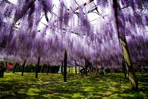 wisteria flower tunnel japan surreal wisteria flower tunnel in japan bored panda