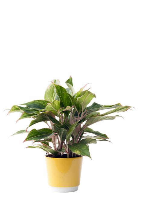 chinese evergreens october 2016 chinese evergreen is houseplant of the month