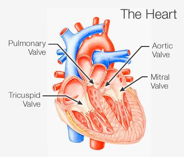 heart valve surgery: what to expect   md health.com