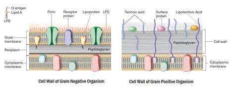 gram diagram gram positive vs gram negative diagram www pixshark