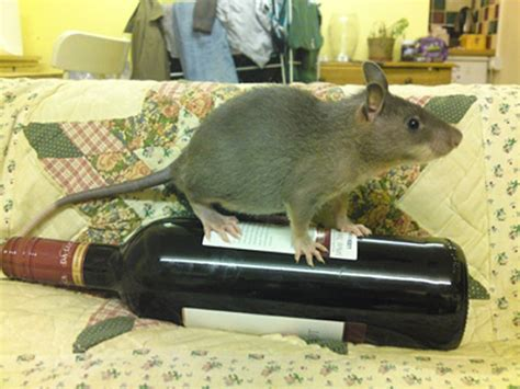 Topi Lgbt l invasione dei topi giganti giornalettismo