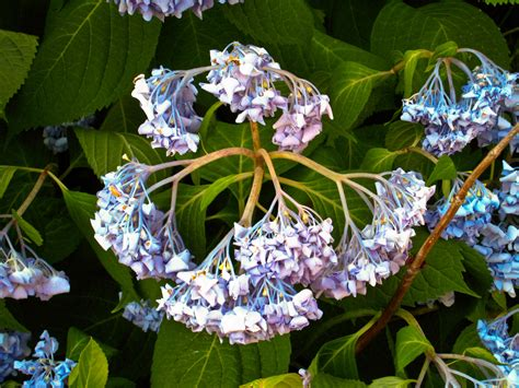 how to revive a plant droopy hydrangea plants what to do when hydrangeas are