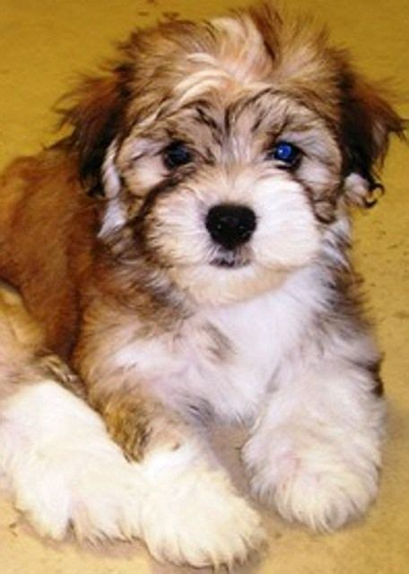 havanese puppies for sale in ma 1000 ideas about havanese puppies on havanese puppies for sale