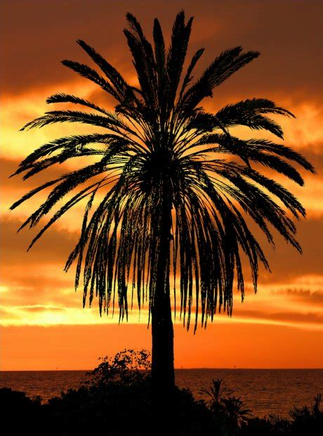 palm results palm tree sunset image search results