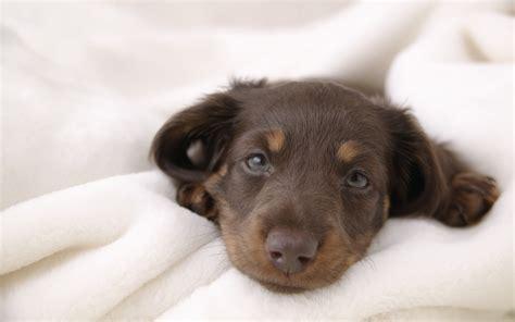 dachshund puppies idaho cutest puppy breed warning cuteness