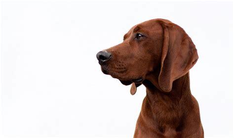 redbone hound redbone coonhound breed information