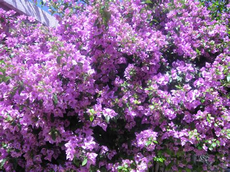 lilac tree teachings amato spiritual intuitive