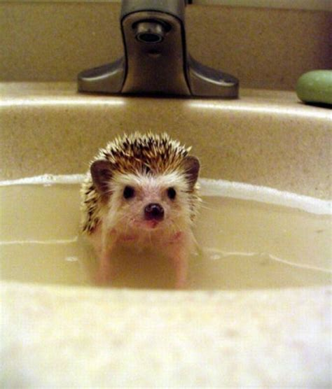 hedgehog bathtub bathing a baby hedgehog cute animals i m queer i know