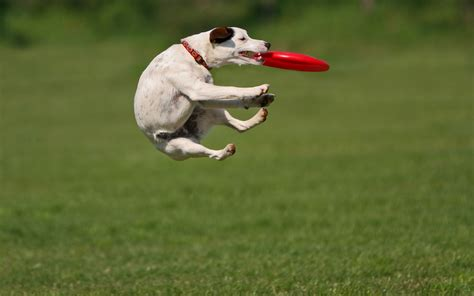 how to to catch frisbee easy sports for healthy dogs viralpawz