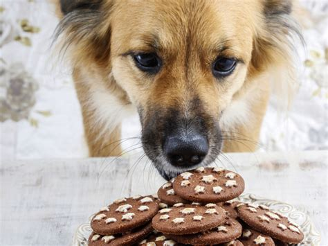 dogs chocolate chocolate poisoning symptoms thin