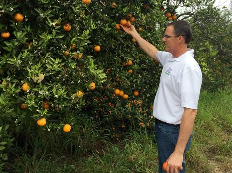 Backyard Lemon Tree Why Farmers And Scientists Are Rushing To Save Citrus