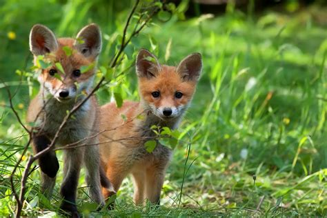 The Foxes 3143998272 wildlife command center mo