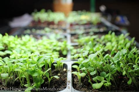 how to start seeds using grow lights one hundred dollars