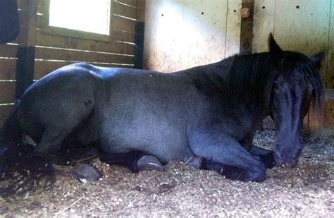 lettiere per cavalli lettiera per cavalli accessori animali caratteristiche