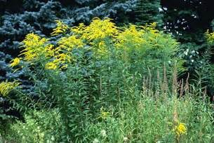 Kentucky State Flower Pictures - wwe wrestlers profile kentucky state flower goldenrod gallery