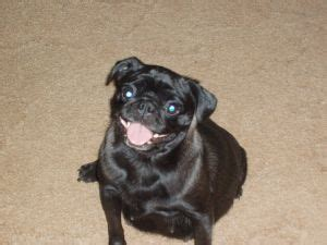 silver fawn pugs for sale 1000 ideas about pug puppies for sale on pugs pug puppies and pugs