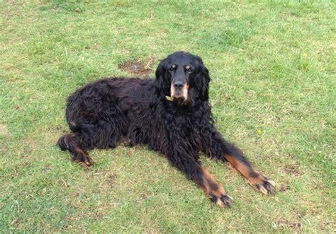 setter dog rescue gordon setter rescue waggnbone luton bedfordshire