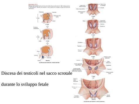dispense anatomia umana sistema riproduttivo maschile e femminile dispense