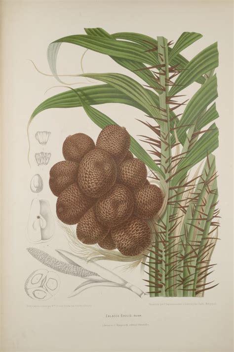 bibliodyssey  fruits  java