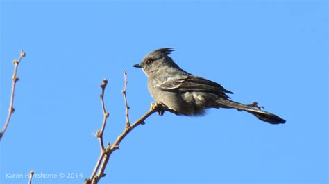 phainopepla arizona bird watcher