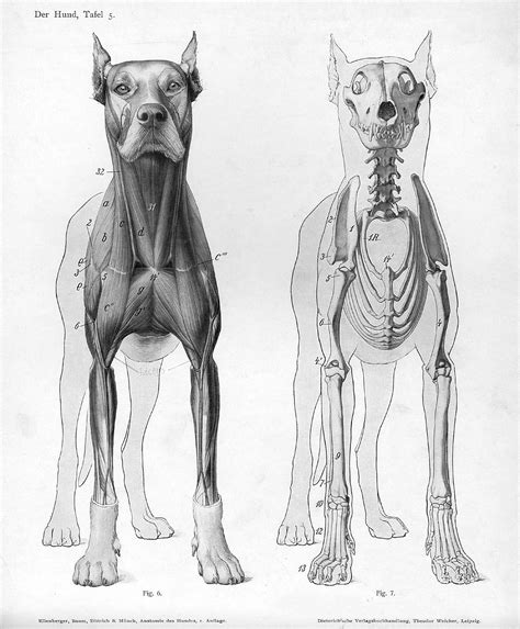 puppy anatomy file anatomy anterior view jpg