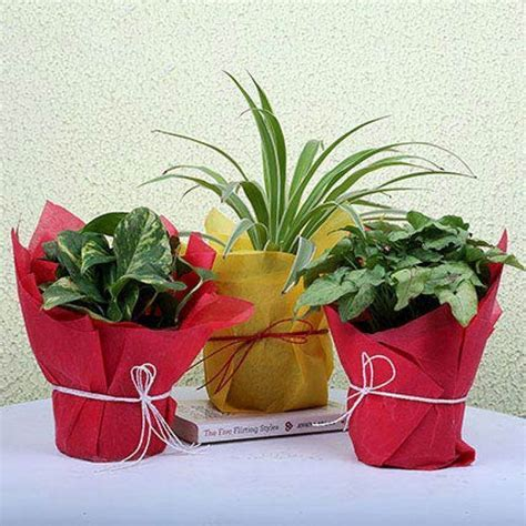 Send 3 Green House Plants Online from BookMyFlowers