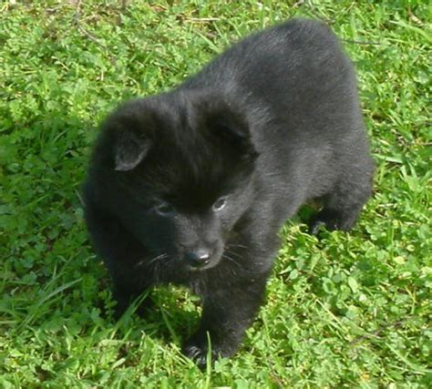 schipperke puppies gallery puppies pictures