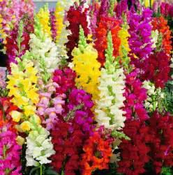 100 dragon flower antirrhinum snapdragon seeds exotic