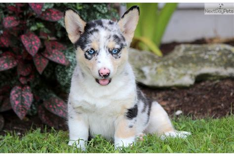 horgi puppies special corgi pembroke puppy for sale near lancaster pennsylvania c5edaab2 f1b1