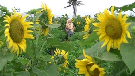 Bibit Bunga Di Jogja lokasi dan harga tiket masuk kebun bunga matahari bantul jogja spot wisata ngehits cocok untuk