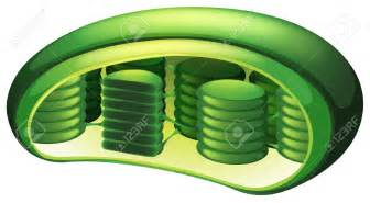 what color are chloroplasts chlorophyll clipart clipground