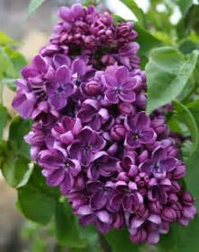 lilac garden musings lilac weeks