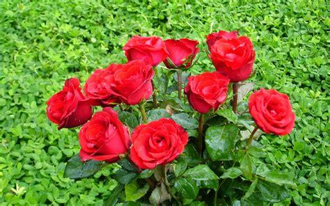 20 gambar foto bunga mawar merah sealkazz