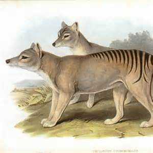 Tas Emory Primier 22562 brain scan shows tasmanian tiger could had complex thoughts and emotions abc news