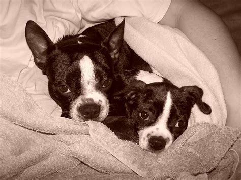 boston terrier x pug for sale boston terrier puppies for sale in canada breeds picture