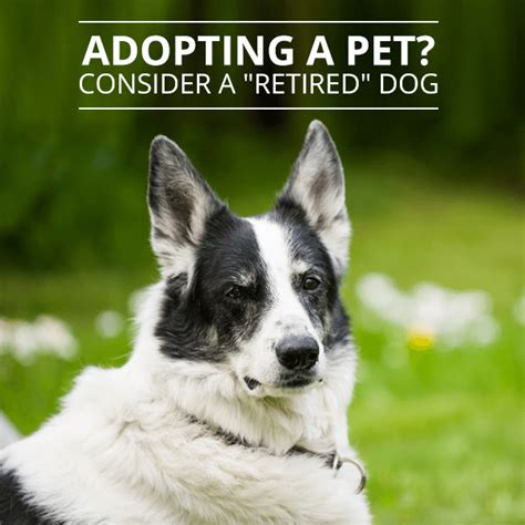 adopt a retired adopting a pet consider a retired ms