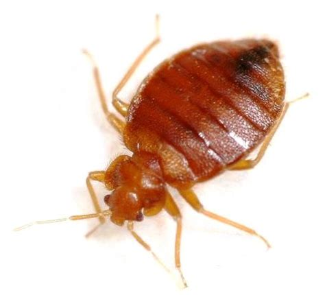 bed bugs utah got pests we can help pest control st george utah